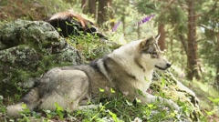 Beautiful grey wolf laying on the rocks, having rest, wildlife Stock Footage