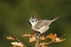 Stock Photo of crested tit (parus cristatus) with an erect crest perched on a branch