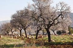Blossoming almond trees (prunus dulcis), campos, majorca, balearic islands, s Stock Photos