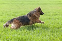 Longhaired, old german shepherd dog running over a field Kuvituskuvat