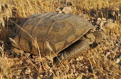 Gopher or desert tortoise (gopherus agassizii), mojave desert, utah, usa, nor Stock Photos