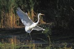 great egret (casmerodius albus), landing - stock photo