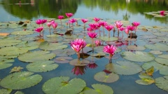 water lilies on a pond. flowering period. thailand - stock footage