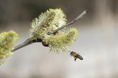 honey bee (apis mellifica) in flight at goat willow, pussy willow or great sa - stock photo