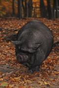 Pot-bellied pig (sus scrofa f. domestica) in the wood Stock Photos