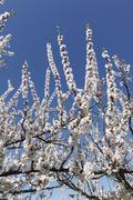 apricot tree in blossom, flowering apricot tree (prunus armeniaca), wachau va - stock photo