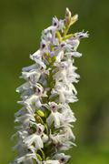 Early marsh orchid (dactylorhiza incarnata albino), albino variant, europe Stock Photos
