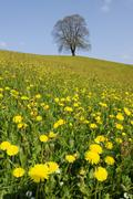 Lime tree (tilia), solitary tree on a hill with flowering dandelions at front Stock Photos