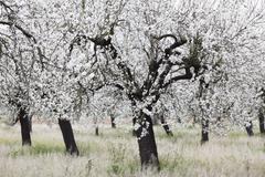 almond blossom, blooming almond trees (prunus dulcis), santa maria del cami,  - stock photo