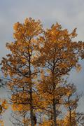 Quaking aspens, trembling aspens (populus tremuloides), leaves in fall colour Stock Photos