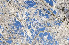 Stock Photo of branches of a beech (fagus) with frost and snow, black forest, baden-wuerttem