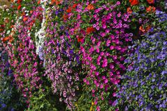 colourful flowers growing on a farmhouse, wine region, southern styria, styri - stock photo