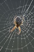 Oak spider (aculepeira ceropegia syn. araneus ceropegia) in its spiderweb wit Stock Photos