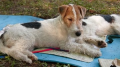Two Fox Terrier Stock Footage