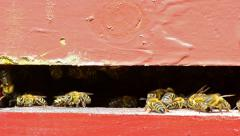 Bees on the hive's bridge Stock Footage