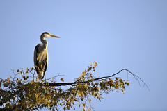 Grey heron (ardea cinerea) sitting on a branch, stuttgart, baden-wuerttemberg Stock Photos