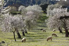 Sheep grazing between blossoming almond (prunus dulcis) trees, montuiri, majo Stock Photos