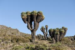 Giant groundsel (dendrosenecio kilimanjari), near the horombo huts, marangu r Stock Photos