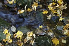 maple leaves (aceraceae) in a creek in wutachschlucht ravine in the black for - stock photo