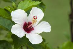 white hibiscus flower (hibiscus), somatheeram ayurvedic health resort, chowar - stock photo