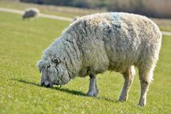 domestic sheep (ovis orientalis aries) grazing on an embankment on the elbe r - stock photo