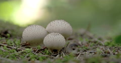Three white warted puffball mushroom in the middle of the forest fs700 odysse Stock Footage