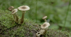 Sprouting white mushrooms on the mossy trunk in the forest fs700 odyssey 7q 4 Stock Footage