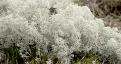 The cotton balls like cup lichen sprouting in the forest fs700 odyssey 7q 4k Stock Footage