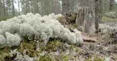 Lots of white cup lichens on the forest just like cottons fs700 odyssey 7q 4k Stock Footage