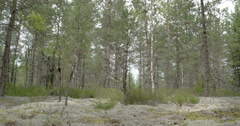 Tall pine trees surrounding lots of cup lichen on the ground fs700 odyssey 7q Stock Footage
