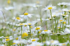Oxeye daisies (leucanthemum vulgare) Stock Photos