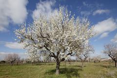 Blossoming almond (prunus dulcis) trees, montuiri, majorca, balearic islands, Stock Photos