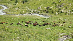Cattle grazing on mountain meadow,  stream flowing between rocks - stock footage