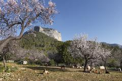 Almond blossom, blooming almond trees (prunus dulcis) and sheep, puig de alar Stock Photos