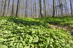 Stock Photo of field of wild garlic (alium ursinum) in a mountain forest, in neubeuern, bava