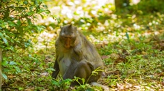 Wild monkeys - macaque in the forests of cambodia Stock Footage