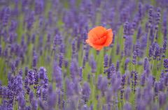 lavender (lavandula angustifolia) with common poppy or corn poppy (papaver rh - stock photo