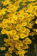 golden marguerite or yellow chamomile (anthemis tinctoria), allgaeu, bavaria, - stock photo