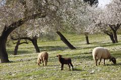Lamb and sheep, blossoming almond (prunus dulcis) trees, montuiri, majorca, b Stock Photos