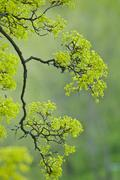 Stock Photo of green tree at springtime, sweden, europe