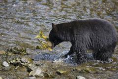 Stock Photo of black bear (ursus americanus) catching salmon, alaska, usa