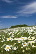 Oxeye daisies (leucanthemum vulgare, chrysanthemum leucanthemum, leucanthemum Stock Photos