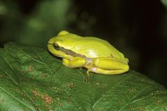 treefrog (hyla arborea), very yellowy tinted juvenile resting in the sun - stock photo