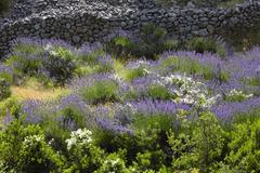 Lavender (lavandula angustifolia) blossoming in front of a natural stone wall Stock Photos