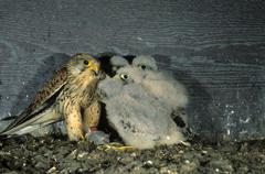 Stock Photo of common kestrel (falco tinnunculus), adult feeding its offspring in a nest box