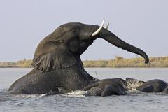 african bush elephants (loxodonta africana) playing, chobe river, chobe natio - stock photo