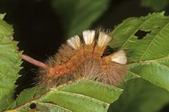 Red-tailed moth (dasychira pudibunda), caterpillar, red version of the specie Stock Photos