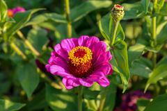 Beautiful flower garden zinnia elegans Stock Photos