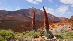 Tajinaste rojo (Echium wildpretii) and Teide Peak on Tenerife Stock Footage