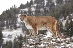 cougar (felis concolor), on a rock, montana, usa - stock photo